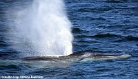 Fin whale blow and rostrum - thumbnail
