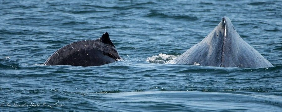 Chompers the humpback whale with calf - lightbox