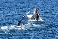 Chompers the humpback whale and breaching calf - thumbnail