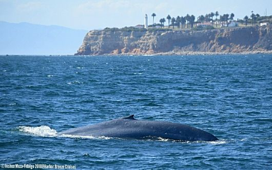 Blue whale with Pt. Vicente in the background - popup