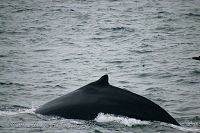 Humpback dorsal fin during dive sequence - thumbnail