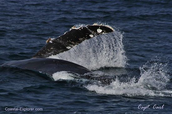 Orcas, Blues, Humpbacks and Baby Grays!