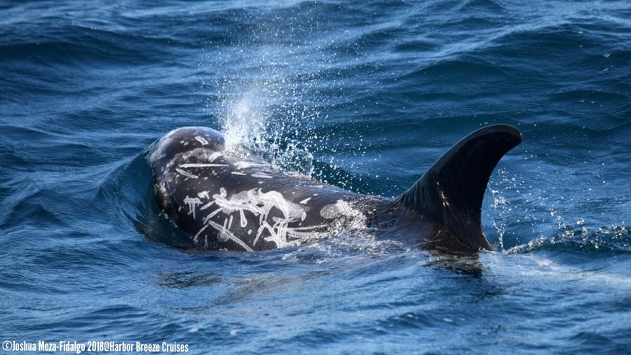 Risso's dolphin blowing at the surface - lightbox