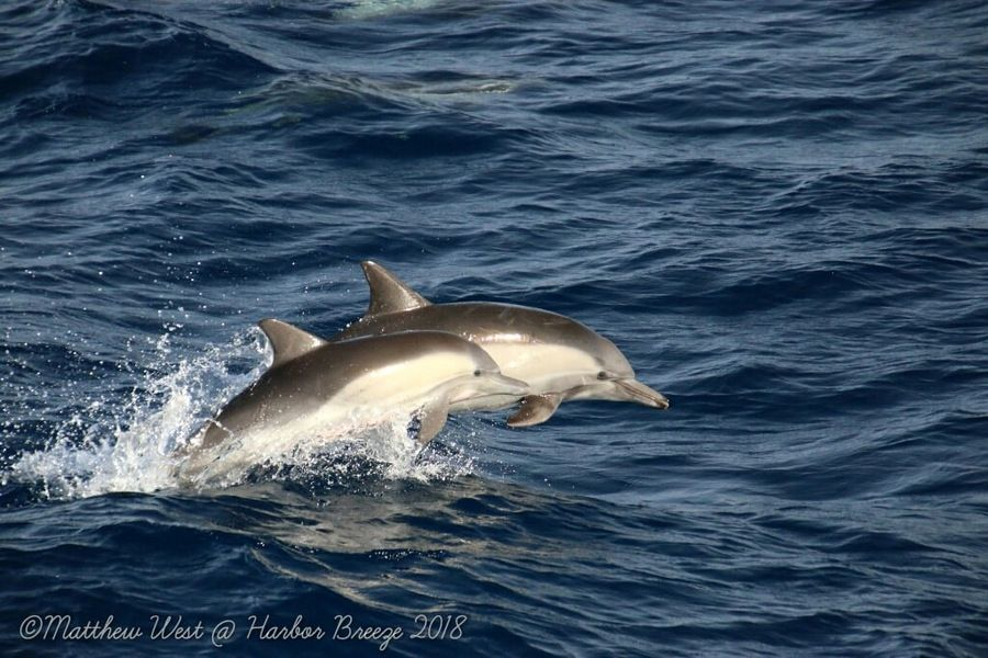 Common dolphins leaping in the air - lightbox