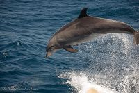 Bottlenose dolphin leaping in the air - thumbnail