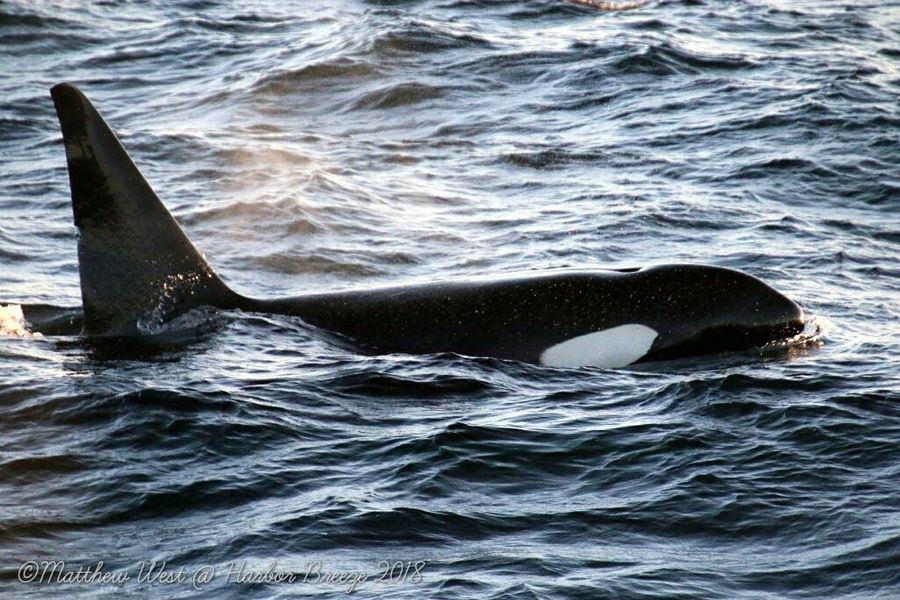 Orca at the surface in the evening light - lightbox
