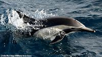 Common dolphin breaching the surface of the water - thumbnail