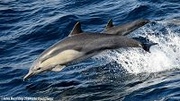 Common dolphin cow/calf pair porpoising in the air - thumbnail