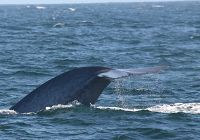 More Blue Whales!