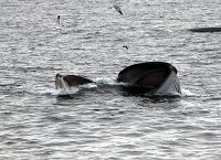 Fin whale lunge feeding with baleen above the water surface - thumbnail