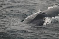 Fin whale rostrum at the surface - thumbnail
