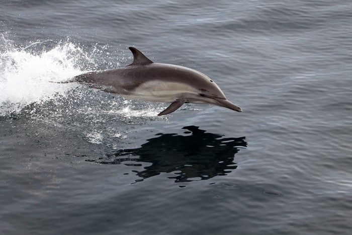 Common dolphin leaping through the air - lightbox