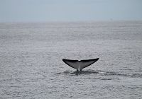 Return of the Fluking Fin whale!
