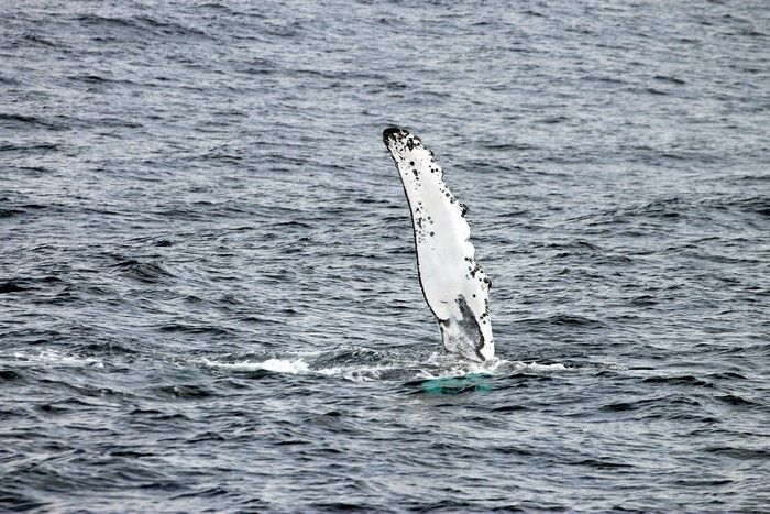 Humpback whale pectoral flipper waving in the air - lightbox