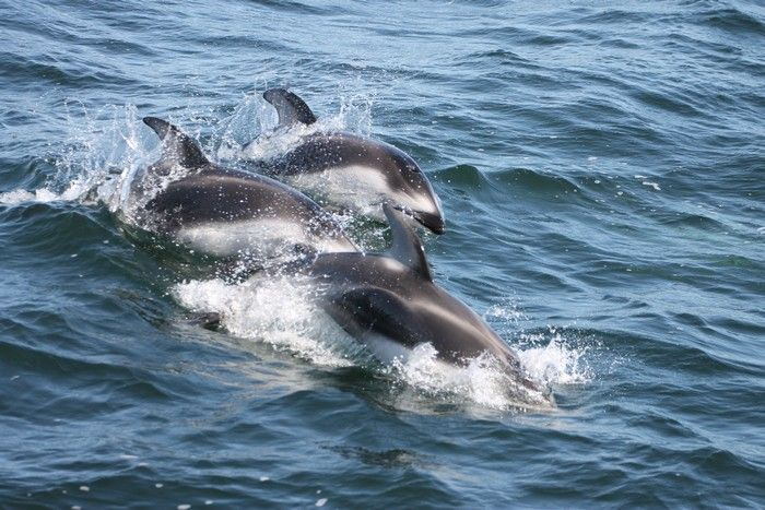 Pacific white-sided dolphins - lightbox