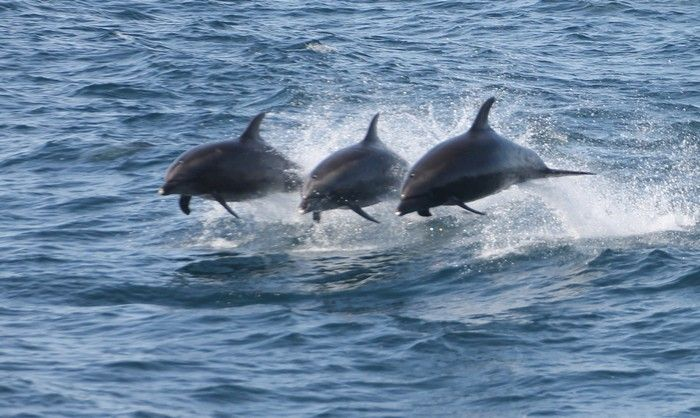 Three bottlenose dolphins leaping in the air - lightbox