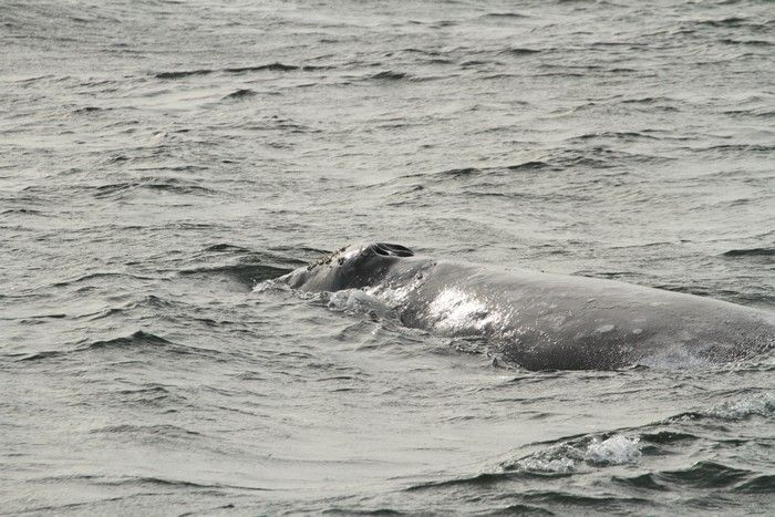 Gray whale - lightbox