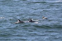Pacific white-sided dolphin and pelican - thumbnail
