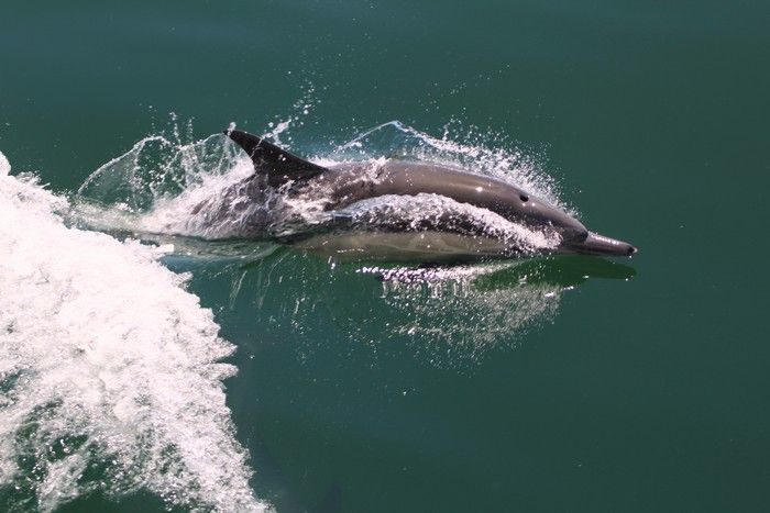 Common dolphin skimming the surface - lightbox