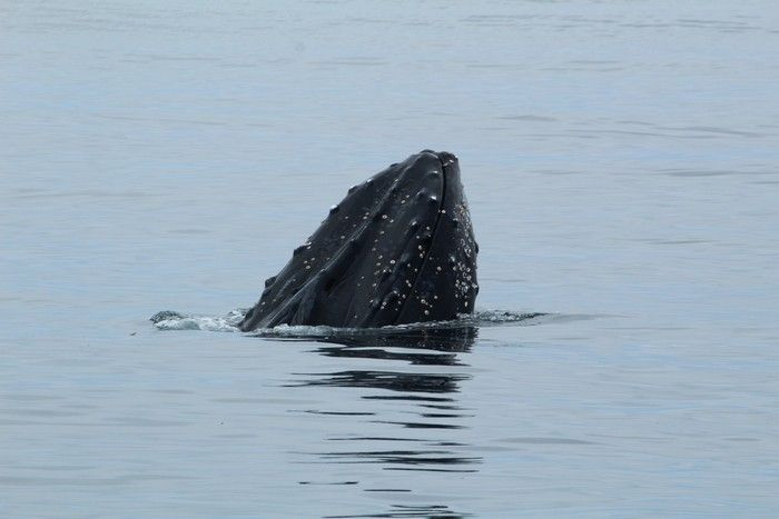 Humpback whale with its chin and rostrum out of the water - lightbox