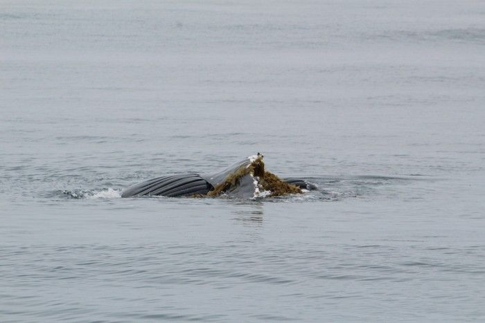 Humpback whale playing in kelp - lightbox