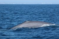 Blue whale dorsal at surface - thumbnail