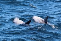 Risso's dolphins - thumbnail