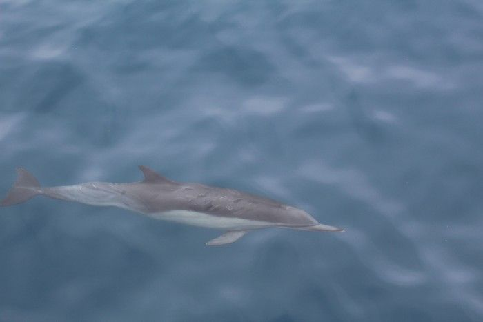 Common dolphin below the glassy surface of the water - lightbox
