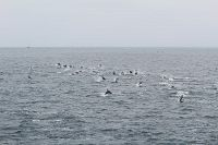Large pod of common dolphins - thumbnail