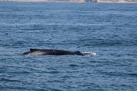 Humpback whale at the surface - thumbnail