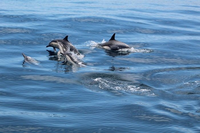 Pod of common dolphins - lightbox