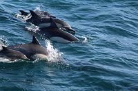 Common dolphins at the water surface - thumbnail
