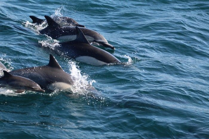 Common dolphins at the water surface - lightbox