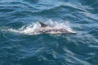Common dolphin at the water surface - thumbnail
