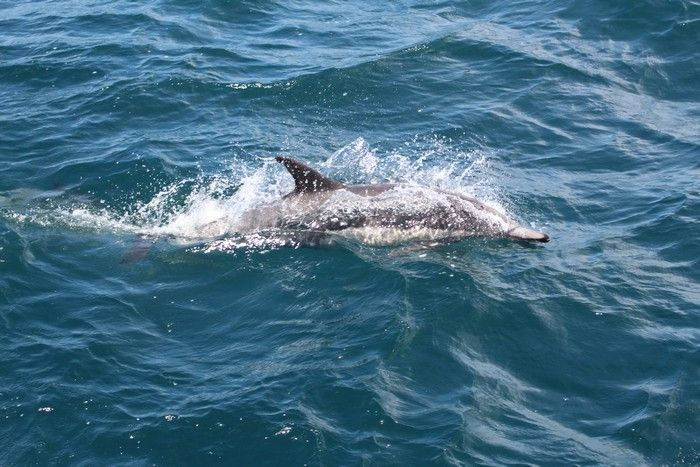 Common dolphin at the water surface - lightbox
