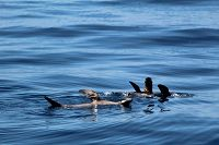 Sea lions thermoregulating at the water surface - thumbnail