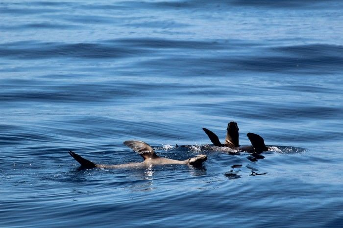 Sea lions thermoregulating at the water surface - lightbox