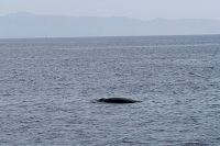 Minke whale at the surface - thumbnail