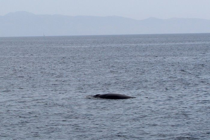 Minke whale at the surface - lightbox