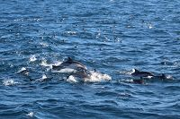 Common dolphins and black vented shearwaters.jpg - thumbnail