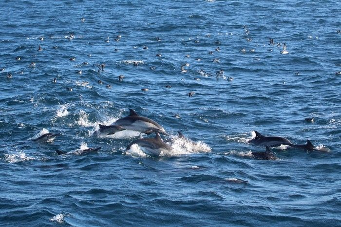 Common dolphins and black vented shearwaters.jpg - lightbox