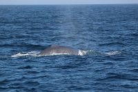 Blue whale dorsal fin at distance - thumbnail