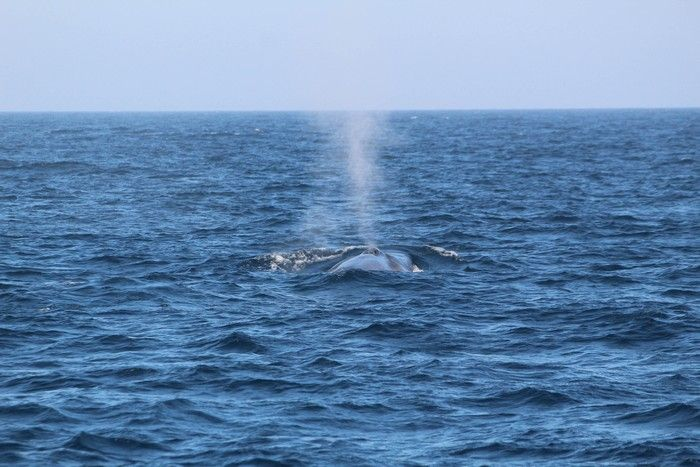 Observing blue whale blow from behind the whale - lightbox