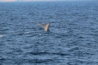 Blue whale fluke at distance - thumbnail