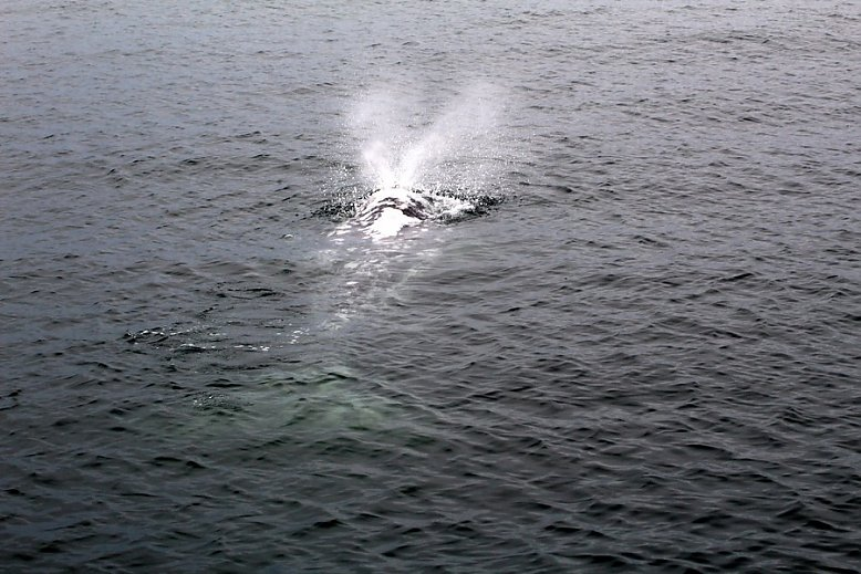 Gray whale blowing at the surface with barnacles easily visible - slideshow
