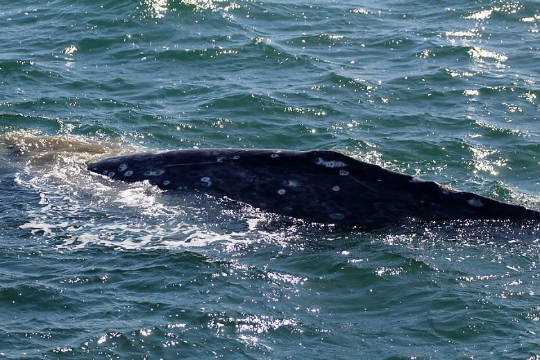 Gray whale dorsal ridge with mud visible in the water, could be feeding and sifting out its food - slideshow