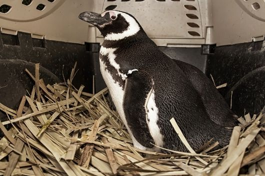 Penguin in nest of fronds - popup