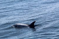 Risso's dolphin at surface - thumbnail