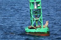 Sea lions sitting on a buoy - thumbnail