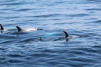 Pod of Risso's dolphins - thumbnail